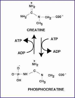 the success from creatine in the sport and atheticism Sports nutrition is a broad which is concerned with the use of proper nutrition and dietary supplements to enhance an athlete's creatine—an organic acid.